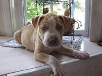 I need to re home my beautiful pure bred Pitt Bull, she