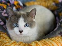 Too's story Gorgeous Young Snowshoe Siamese DSH Mix