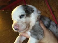 Toby # 3 is a CKC Registered Blue Merle male with blue
