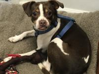 Toby is a male, just under 2 years old, Boston Terrier