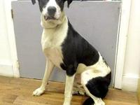 Toby's story 18-D08-007 Toby Breed: Great Dane Mix