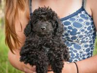 Black male Shihpoo puppy, Toby, has a silky curly plush