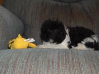 Toby is a black/white shihpo-poo.Mom is a shih poo