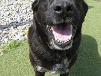 My story TOBY is a 10-year-old neutered male black lab.