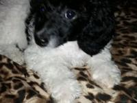Princess Paisley is a super sweet reg. black and white