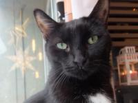 Gorgeous Toesey is a friendly and outgoing black cat