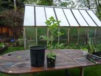 I have 200 Tomato Plants for sale in my greenhouse. I