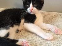 Tommie's story Tommie Black/White DSH DOB 9/23/2017