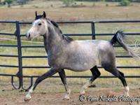 Tommy is a handsome 13 year old gelding, 14.3 HH. He