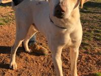 Sweet and handsome Tommy is a 1yr old lab mix. He is