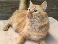 Tom is a big easy going guy...Tommy is FIV positive,
