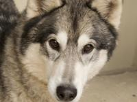 Tonk is your typical husky.  He loves to talk and is