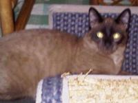 Tonkinese - Morgan - Large - Young - Male - Cat Est DOB