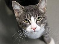 Tony's story Primary Color: Blue Tabby Secondary Color: