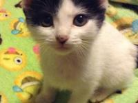 Meet Tonya a short hair Turkish Van mix kitten. She has