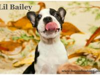 Lil Bailey is a quite Boston Terrier infant lady. In