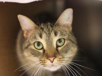Tootsie is a 1-year-old brown tabby female who was
