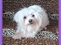"Tootsie's story ""Meet Tootsie! She is a pretty maltese"