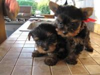 Top AKC Female Yorkie Puppy Text (218) 309-7775. Our