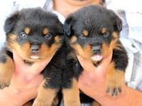 Animal Type: Dogs Breed: Rottweiler The Best Looking
