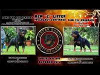TOP GERMAN ROTTWEILER PUPPIES FOR SALE FROM TOP WORKING