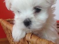 Beautiful AKC Maltese pups ready to go in May! We have