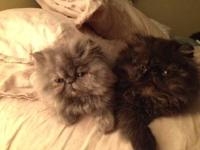 We have two top-notch Persians kittens available. The