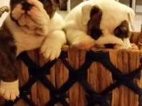 AMERICAN KENNEL CLUB English Bull Dog Pups For Sale