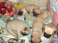 We have a gorgeous litter of Akc registered Pug