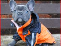 Excellent top Quality Blue French Bulldog puppies all