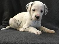 Top quality Dalmatian Puppies Ready Now For Sale.Please