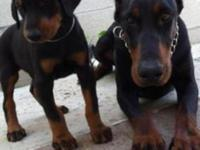 European Doberman puppies for sale from pure imported
