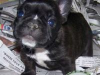 Top quality male and female french Bulldog puppies