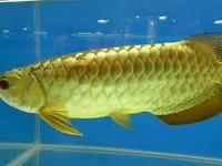 Animal Type: Fishes Breed: Arowanas TEXT (908)
