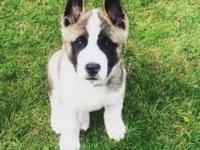 Animal Type: Dogs Breed: Akita I have for sale