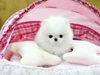 They are Teacup White Pomeranian Puppies. They are so