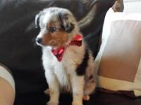 Absoloutely Gorgeous Mini & Toy aussies with awesome