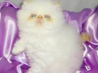 GORGEOUS FLAME POINT HIMALAYAN BOY BORN JULYL 8TH,