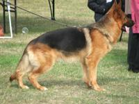 I have one of the top quality Show line Red & Black AKC