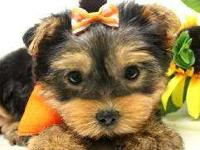 Top Quality Teacup Yorkie Puppies Available For