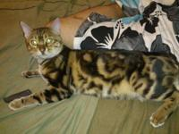TICA, Reg. BENGAL, TOP QUALITY really flashy and highly