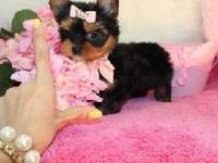 Animal Type: Dogs Breed: Yorkshire Terrier Both males
