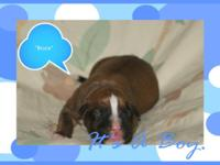 We have AKC Boxer Puppies! $625.00... We now have 4