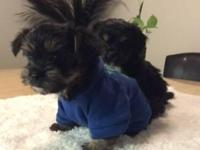 **Top Teacup Yorkie Puppies Available**.All loved and