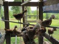 tophat chickens,From days old to grown and laying. Have