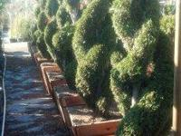 NURSERY TOPIARY AND SPIRAL JUNIPER SALE. TOPIARY AND