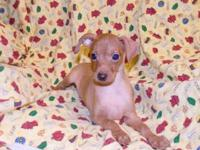 ST@P - L@@K - Very nice Red Male Min Pin Puppy