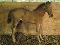 Topside Hickory - AIHR colt foaled April 23rd 2012.