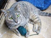 Torbie - Chachalaca - Medium - Adult - Female - Cat