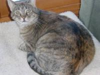 Torbie - Elaine - Medium - Young - Female - Cat
